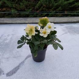 Rose de Noël blanche