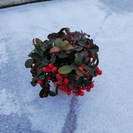 Gaultheria vivace