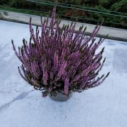 Calluna naturelle pot Ø 17cm violet
